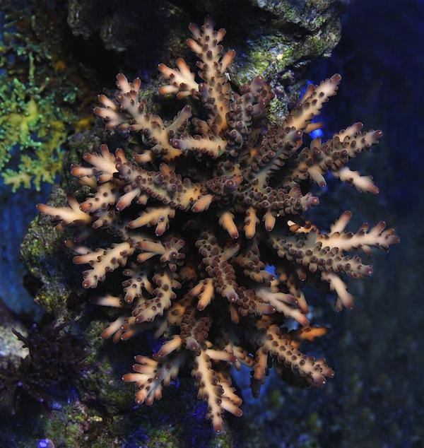 Bali Acropora loripes.