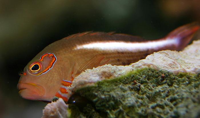 Fatheree01-ArcEyeHawkfish