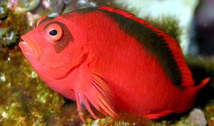 Fatheree03-FlameHawkfish
