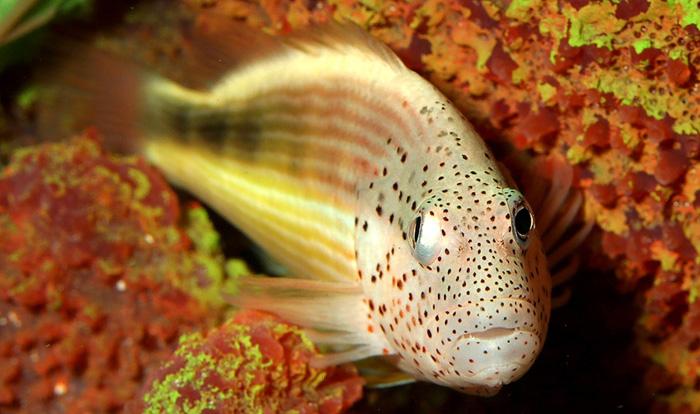 Fatheree04-FreckledHawkfish