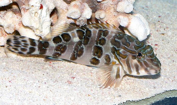 Fatheree05-GiantHawkfish