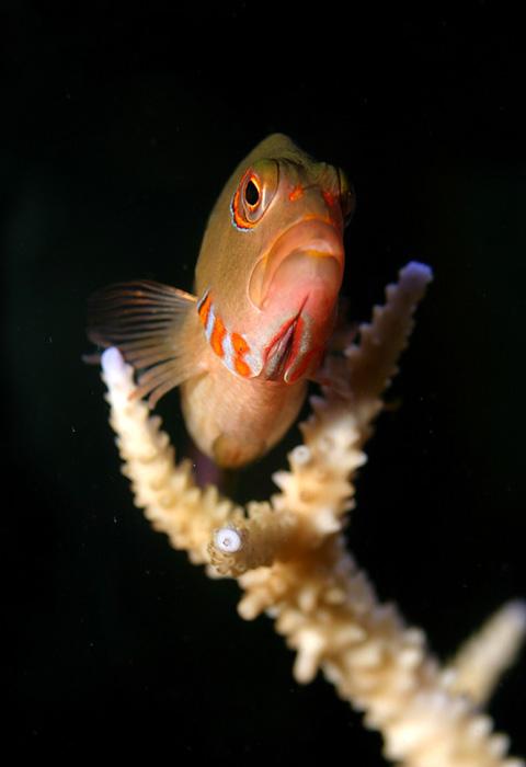 Fatheree07-PerchingHawkfish