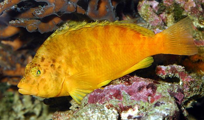 Fatheree10-YellowHawkfish
