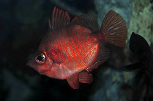 Male boarfish, Capros aper.