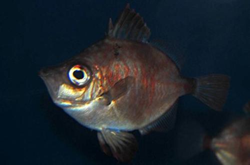 Female boarfish, Capros aper.