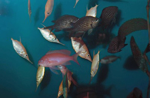 A mob of fish eating recently released boarfish eggs.