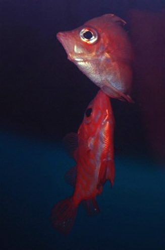 Boarfish spawning – male is below.