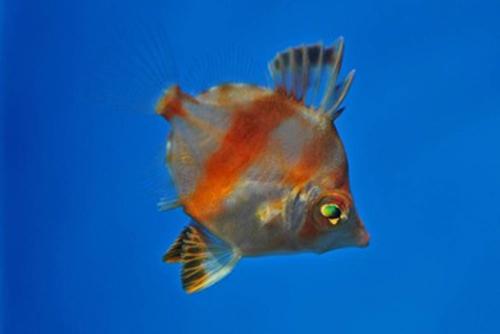 Boarfish at 125 days.