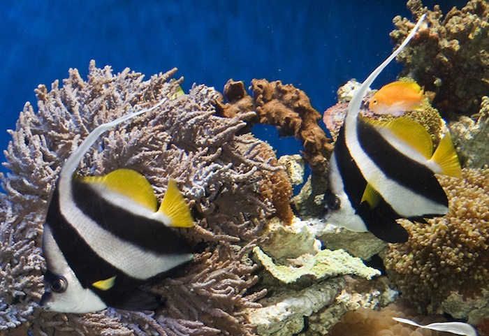 Heniochus diphreutes, the Schooling Bannerfish. Photo by J. Charles Delbeek.