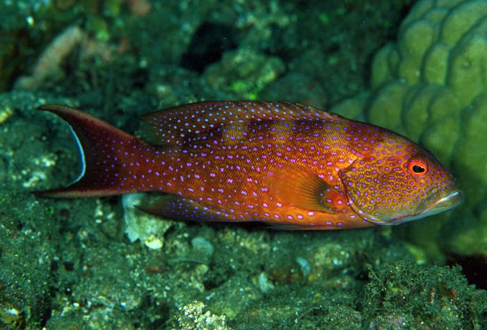 Variola albimarginata.