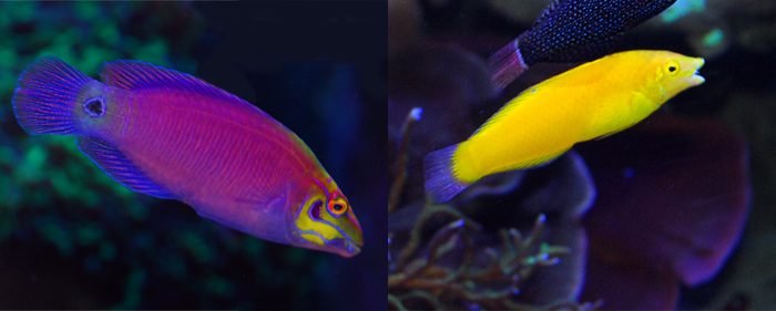 Mystery wrasse (left), Yellow coris (right).