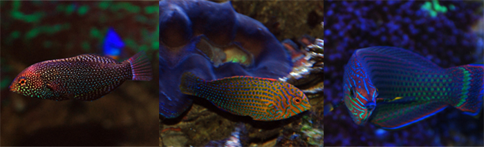 Leopard wrasse (left), Potters wrasse (center), and Dusky wrasse (right).