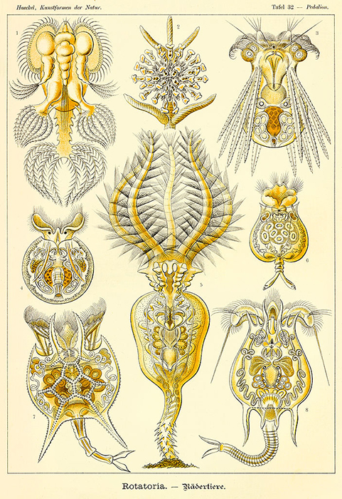 There is a considerable variety of body forms amongst the Rotatoria. (Illustration by Ernst Haeckel.)