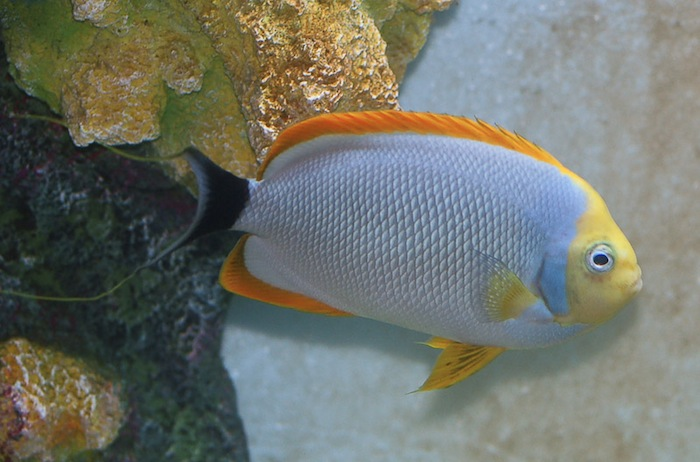 A large adult male masked angelfish after a couple years in captivity. Photo by Chung Wing Hung.