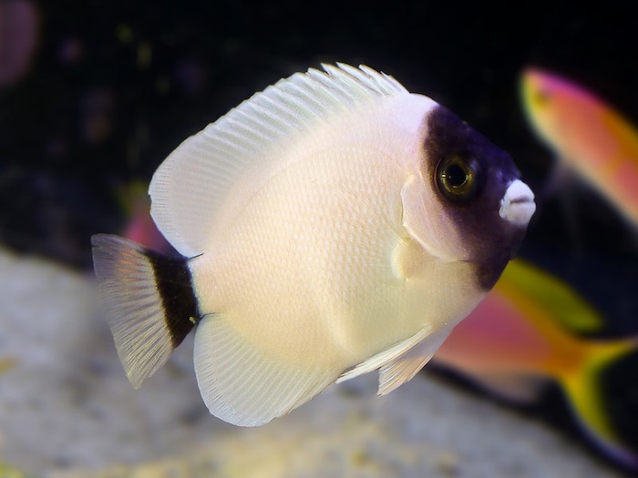 The recently collected masked angelfish which was bought and sold by House of Fins, Greenwich CT. Photo by Lluis Turon.