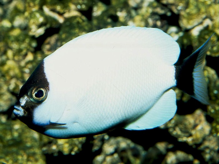 A female masked angelfish on display at the Waikiki Aquarium. Photo by Bob Fenner.