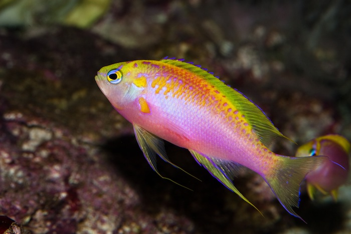 Delicate fish like the Ventralis Anthias (Pseudanthias ventralis) may be more likely to successfully adapt to a bustling community aquarium if they are first allowed to recover from shipping stress in a dedicated quarantine tank.  Photo: J.C. Delbeek