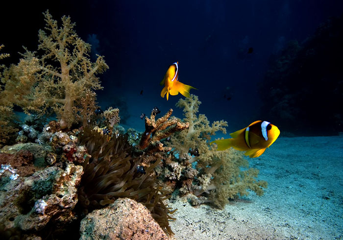 This small community with its pair of Amphiprion bicinctus was photographed in a sand filled lagoon where a few remaining and mainly eroded coral heads offered attachment sites for soft corals and an anemone.