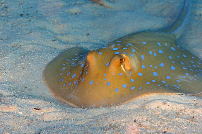 Sandy bottoms offer opportunities for specialist feeders such as this blue spotted ray (Taeniura lymma).