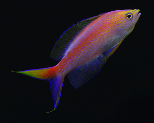 Central Pacific Anthias- Pseudanthias aurulentus, male.