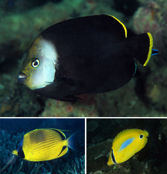 Top: Chaetodontoplus vanderloosi; Bottom left: Chaetodon semion; bottom right: Chaetodon plebius.