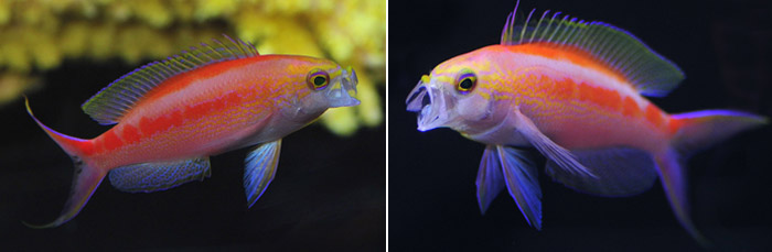 Central Pacific Anthias- Pseudanthias aurulentus (Randall & McCosker, 1982) Left, yawning female. Right yawning male.