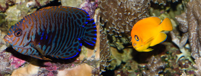 Left, Centropyge potteri - 14 years at the Waikiki Aquarium. Right, Centropyge flavissima at the Waikiki Aquarium, 19 years and counting. Photo: J. C. Delbeek