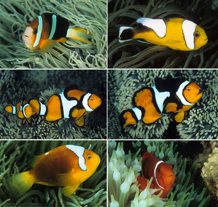 Top left: Amphiprion clarkii. Top right: Yellow Amphiprion polymnyus. Middle: Amphiprion percula. Bottom left: Amphiprion leucokranos. Bottom right: Premnas biaculeatus.