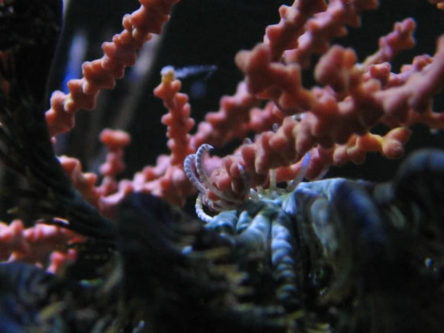 Feather star holding onto a Gorgonian via use of it's cirri.