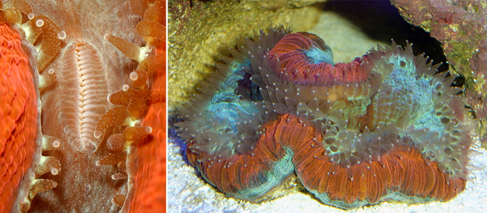 These corals do have feeding tentacles, which will emerge when they detect food in the water. Their mouth(s) will go from being a slit to what looks like odd puckered lips, too.