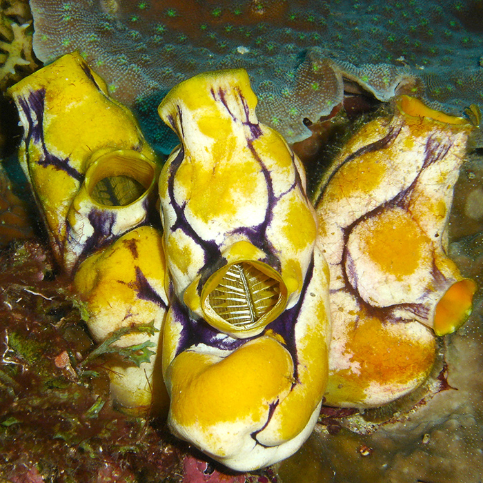 Three golden sea squirts, Polycarpa aurata, which can grow to a few inches in size. Part of the pharynx, inside the atrial siphon is visible in the center individual.