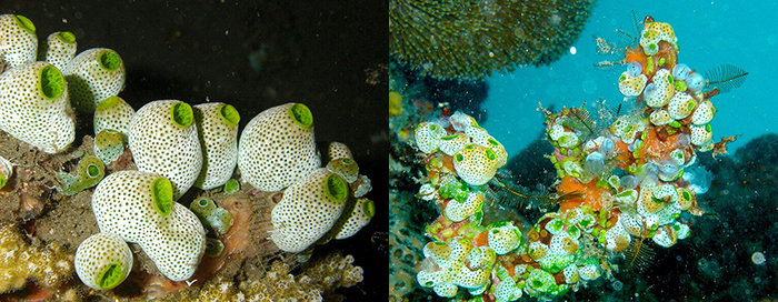 These are groups of Didemnum molle. The green color many posses is created by algal symbionts.