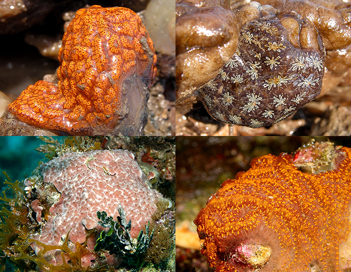 These are examples of typical colonial of ascidians. The relatively tiny zooids are fused together and  share a common tunic.