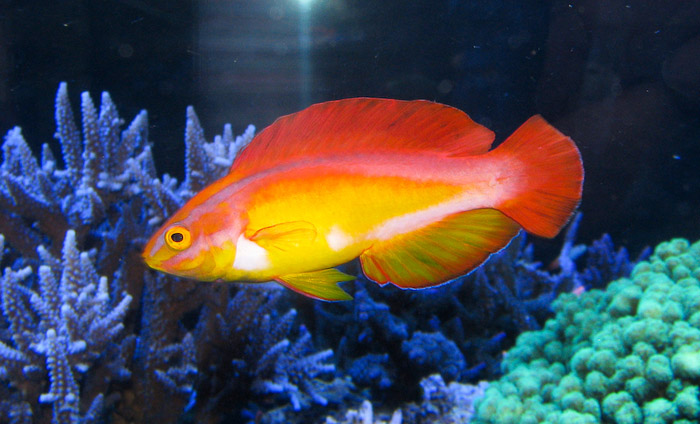 This male flame wrasse is in full breeding coloration.