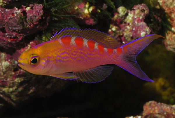 Red Saddled Anthias- Pseudanthias flavoguttatus, Juvenile female.