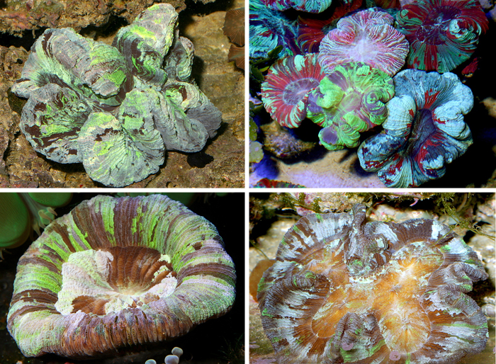 Here are a few examples of other forms this species can develop. Some are round, especially when small, some look like clovers, some look like figure-eights, etc. It's also obvious that they can have a good range of color patterns, too.