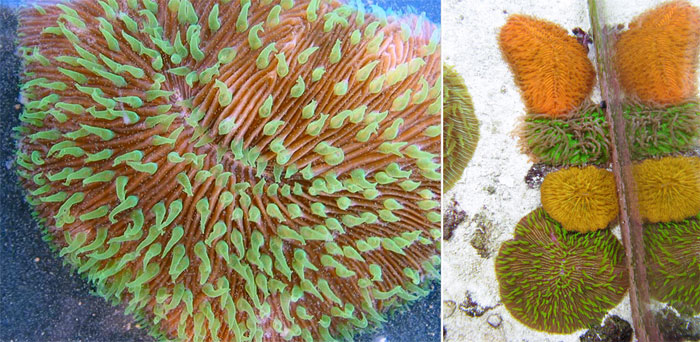 Corals in the Fungiidae family have amazing powers of regeneration.