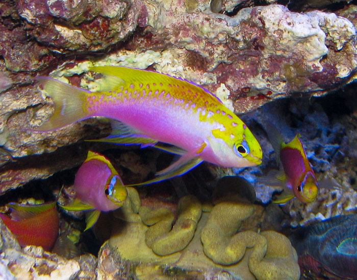 Having a harem of fish consisting of a male and several females will increase your chances of catching a male and female in the act of pelagic spawning.
