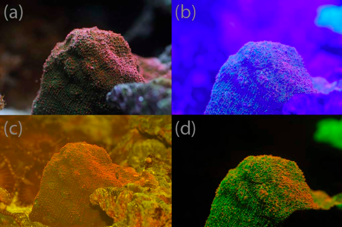 Figure 1. (a) Picture of coral under normal lighting. (b) The same coral with the exciter blue light (c) The same coral with just the barrier filter in front of lens. (d) Florescence photo with both the exciter and barrier filter.