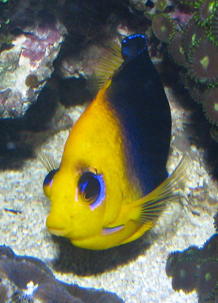 A more mature and long term captive joculator angelfish is more likely to spawn than a freshly imported one.