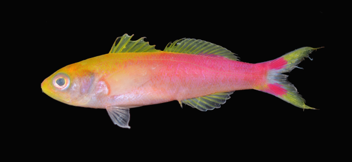 New splitfin anthias species, Luzonichthys seaver described from Pohnpei Micronesia