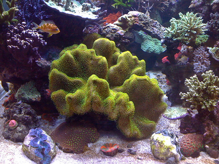 Sarcophyton are a good example of a soft coral where most of the tissue is made up of totipotent cells.