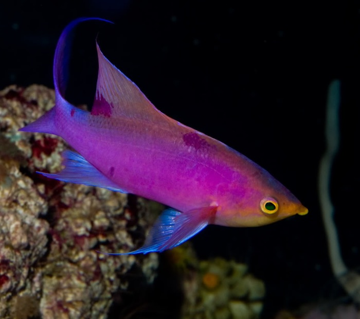 This Purple Queen Anthias (Pseudanthias tuka) thrived and changed from a small female to a supermale while kept in a very simple quarantine tank for 9 months. The tank was filtered solely by live rock and airstones. Photo: Rich Ross