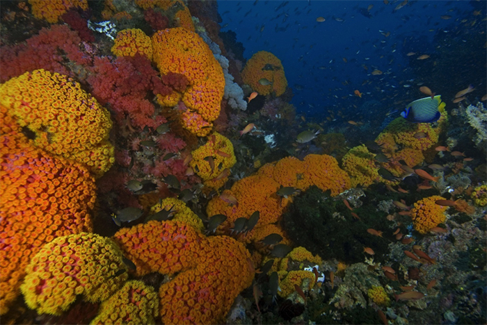 A dense aggregation of colonies in the current swept Raja Ampat Islands. Photo by ci.singapore2.