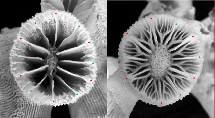 "Left: T. diaphana. Right: Rhizopsammia (Red=S1 Blue=S2) The enlarged S5 surrounds both S3 and S4 in a ""Pourtalès plan"" septal arrangement. Photos by Tachikawa 2005."