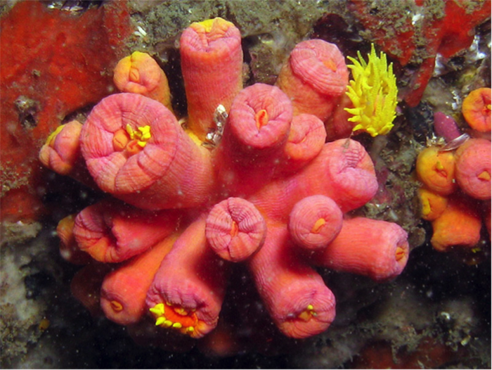 Note the height of the polyps relative to other Tubastraea spp. Photo by Guilherme Muricy.