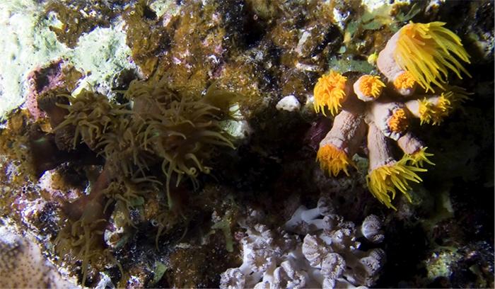 A specimen alongside a possible T. diaphana in the Red Sea. Photo by Mona Deinhart & Chris Leba.