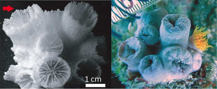 T. cf diaphana. Note the perforations (arrow) through the corallite walls. Photos by Arrigoni et al 2014.