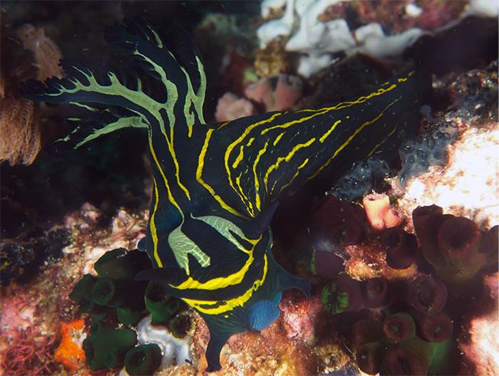 T. diaphana alongside a nudibranch. Photo by Vololona Dufour-Webert.
