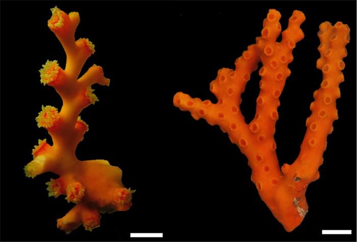 D. boschmai (left) and D. cribosa (right). Photos by Sentoku et al. 2013.